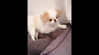 Japanese Chin Puppy playing! Japan Chin playing
