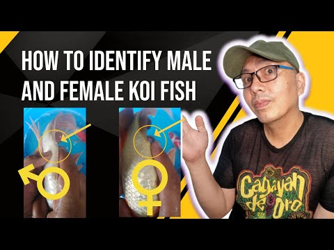 How to identify male and female koi fish gender (tagalog) 8 to 9 inches