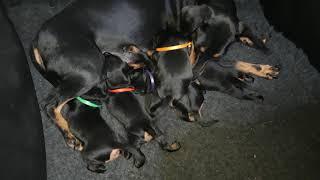 Manchester Terrier  puppies' life  part 1