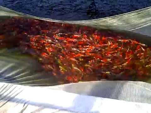 Spring harvest ogata koi farm japan netting ponds youtube for Koi farm japan