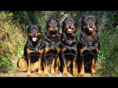 Cornwall May 2016 - Fab 4  (Rottweilers Montage)