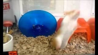 REAL LIVE Hamster Dance