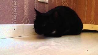 Приступ кашля у кошки