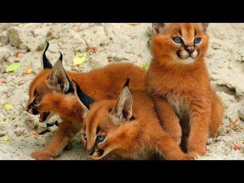 14 RAREST Cat Breeds In The World!