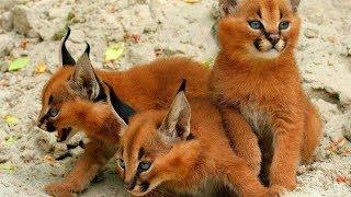 14 RAREST Cat Breeds In The World! サビイロネコ 検索動画 9