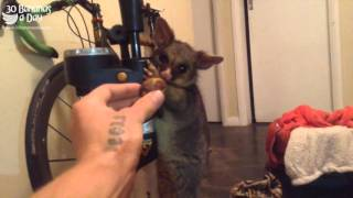 Catching & Eating Possum Meat For Dinner