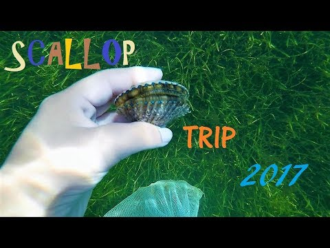 Homosassa FL Scalloping 7-1-17