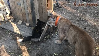 Братец лис и братец пума. Brother Fox and brother Cougar.