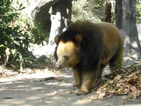 Blonde Color Phase Asian Black Bear Ursus Thibetanus In Ptwrc Cambodia Youtube