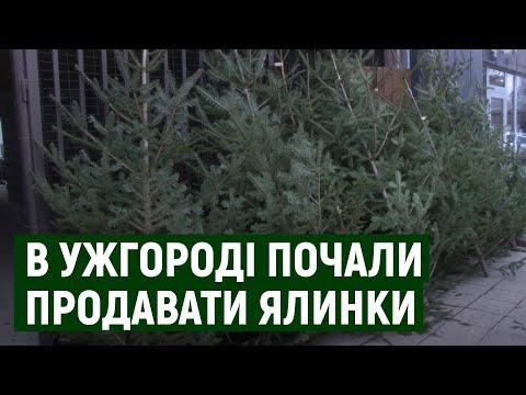 Від 250 гривень за двометрову: в Ужгороді почали продавати живі ялинки