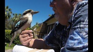 Pet Kookaburra called Bitey