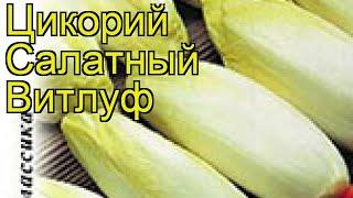 Цикорий салатный Витлуф. Краткий обзор, описание характеристик, где купить семена cichorium intybus