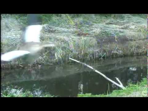 SnelleLoopCam 2012 09 02 182600 blauwe reiger vliegt voorbij