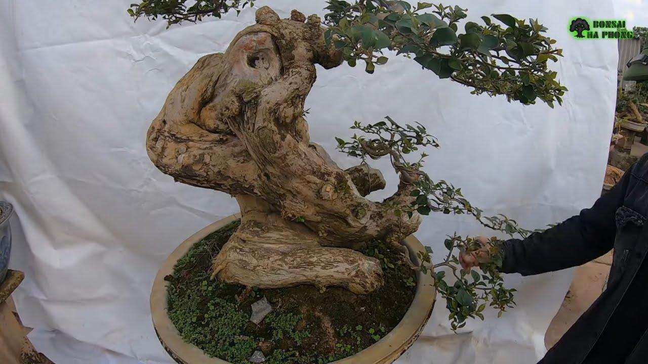 ✅Báo giá cây cảnh bonsai hợp lí có nhiều cây đẹp✔️BShp(13-A Đại 0967828345)