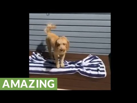 Swimming dogs learn to dry off after pool time