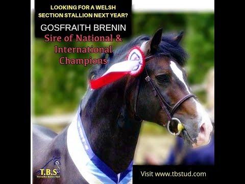Gorsfraith Brenin Welsh Section D Stallion At Stud Movie