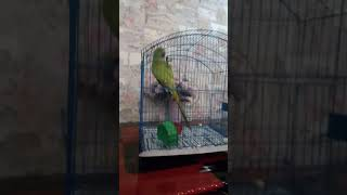 green parrot pranc, finally respond voice