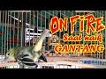 Pancingan Naik Gantang Cipoh Sirtu Gacor Pasti Langsung On Fire Emosi Ngotot  Mp3 - Mp4 Download