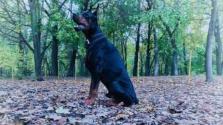 Прогулки с собакой. 1 часть (Сезон осень) Walking with a Doberman part 1 (autumn)
