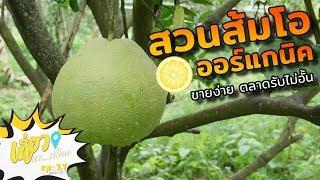 สวนส้มโอออร์แกนิค ขายง่าย ตลาดรับไม่อั้น I เที่ยวหาเรื่อง