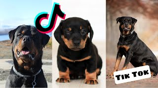 Rottweilers are so Cute and Funny  Rottweiler Tik Tok Compilation