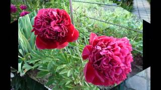 Прекрасные цветы пионы в вашем дворе(Прекрасные цветы пионы это императорские цветы, красивые, пышные, благоухающие. Садоводы часто сажают у..., 2016-01-06T16:50:51.000Z)