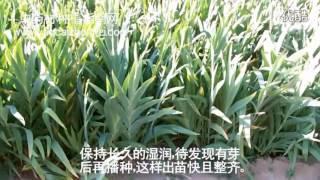 自然保健-射干種植技術