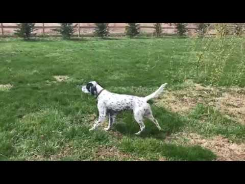 English Setter Dottie III on point.