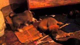 Спасение щенков, приют в Тюмени закрыт