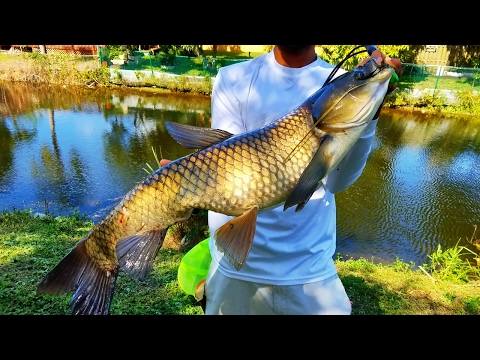 HUGE Carp Caught In Small Florida Canal! Ft CatchemAllfishing