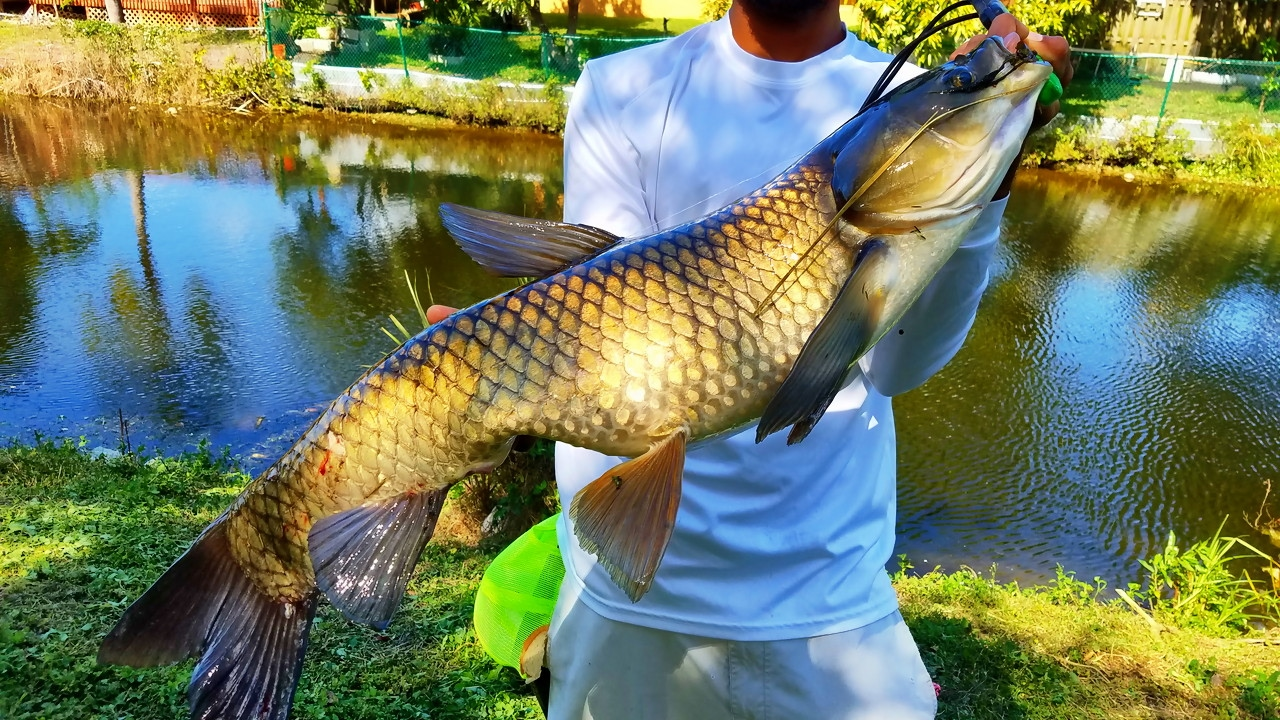 Huge carp caught in small florida canal ft for Florida canal fishing