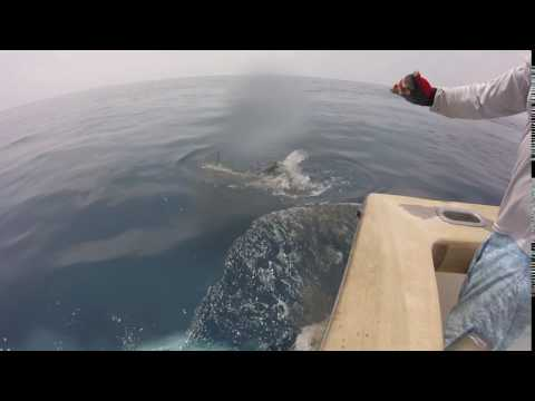 2017 Offshore World Championship | 25th Tongan Int'l Billfish Tournament | Blue Marlin