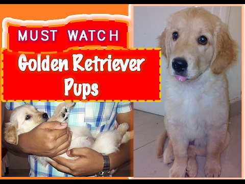Golden Retriever Pups Playing- By Video Scrolls