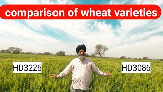 Comparison of Hd3086 and hd 3226 wheat varieties