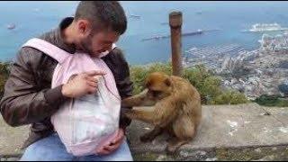 Monos de Gibraltar robando y atacando a los turistas