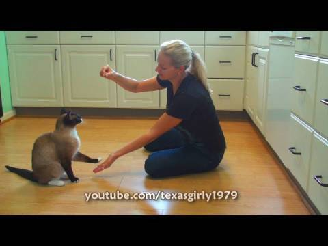 Smart Cat does Dog Tricks! roomba cat Max-Arthur VS. pit bull Sharky.