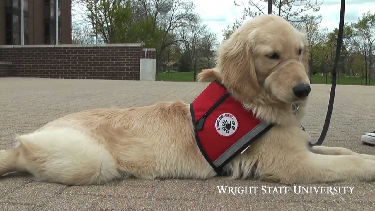 Service Dog Training Program Youtube