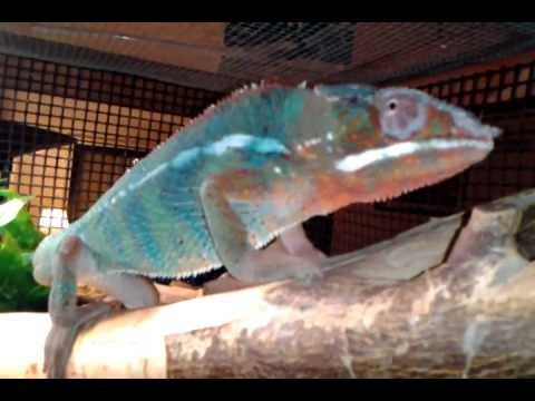 chameleon how to change color