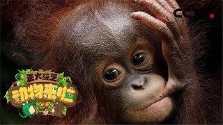 [正大综艺·动物来啦]选择题:小红毛猩猩的学习训练,首先是从那一项开始进行的?| CCTV