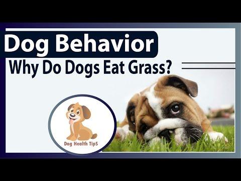 Dog Behavior- Why Do Dogs Eat Grass?(dog Health Food)