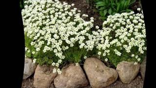видео Камнеломка посадка, уход в открытом грунте, фото и выращивание из семян