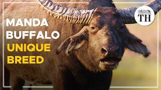 Manda buffalo gets unique breed tag