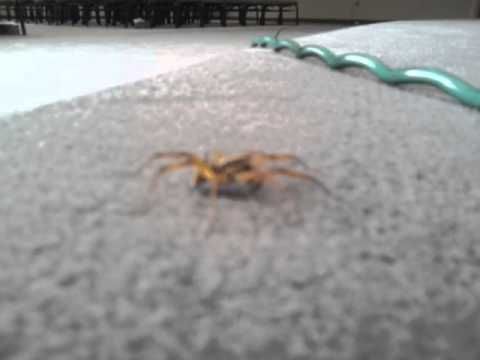Wolf Spider Hunting