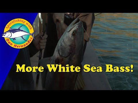More White Sea Bass! | SPORT FISHING
