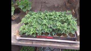 Подготовка к высадке хризантемы в огород
