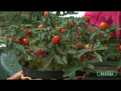 Растение паслен – уход в домашних условиях, фото паслена и