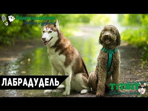 Собаки в нашей жизни: Лабрадудель (Цена, воспитание, уход)