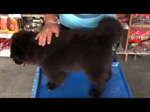 Pet Care - Dog long hair care - Bhola Shola