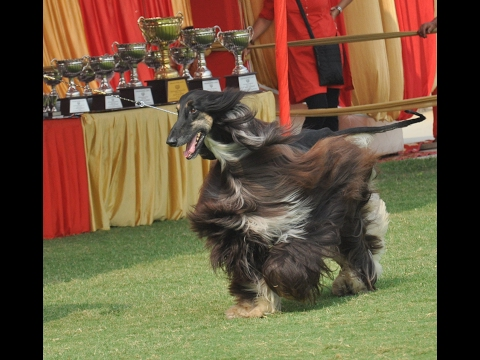 Afghan Hounds - Best in breed title Dog Show