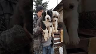Щенки алабая сао среднеазиатской овчарки, 2 мальчика , купить щенка